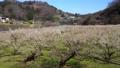満開に咲く梅の花(ろうかく梅園) 63575666