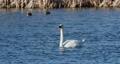 Wild mute swan in spring on pond 63601275