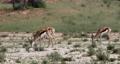 herd of Springbok in kalahari, South Africa wildlife 63601278