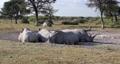 Resting white rhinoceros Botswana, Africa 63601283