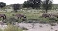 Gemsbok, Oryx gazella in Kalahari 63601288