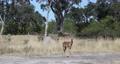 Impala antelope Namibia, africa safari wildlife 63601291