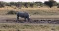 white rhinoceros Botswana, Africa 63601294