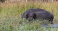Hippopotamus Botswana Africa Safari Wildlife 63601297