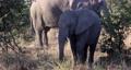 African Elephant in Moremi, Botswana safari wildlife 63601298
