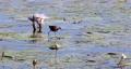 bird African jacana, Namibia Africa wildlife 63601299