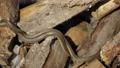 Snake in Nature, Wildlife shot, Dangerous Grass-snake on Wood 63609341