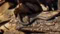 Snake in Nature, Wildlife shot, Dangerous Grass-snake on Wood 63609345