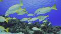 砂地と珊瑚 キンセンフエダイの群れ 63702095