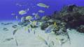 砂地と珊瑚 キンセンフエダイの群れ 63702096