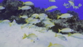 砂地と珊瑚 キンセンフエダイの群れ 63702097