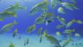ダイバーと砂地と珊瑚 キンセンフエダイの群れ 63702099