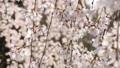 日本の春 枝垂れ桜 63744217