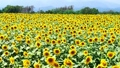 Sunflower field 63768517