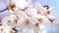櫻花,藍天,波光粼粼的春天 63797010