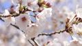 櫻花,藍天,波光粼粼的春天 63797011