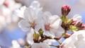 櫻花,藍天,波光粼粼的春天 63797012