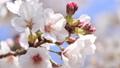 櫻花,藍天,波光粼粼的春天 63797013