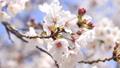 櫻花,藍天,波光粼粼的春天 63797014