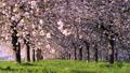 桜並木_八重桜「一葉」の桜堤 長野県小布施町 63862220