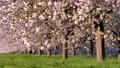 桜並木_八重桜「一葉」の桜堤 長野県小布施町 63862221