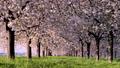 桜並木_八重桜「一葉」の桜堤 長野県小布施町 63862222