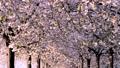 桜並木_八重桜「一葉」の桜堤 長野県小布施町 63862223