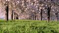 桜並木_八重桜「一葉」の桜堤 長野県小布施町 63862224