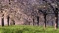桜並木_八重桜「一葉」の桜堤 長野県小布施町 63862225