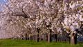 桜並木_八重桜「一葉」の桜堤 長野県小布施町 63862226