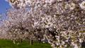 桜並木_八重桜「一葉」の桜堤 長野県小布施町 63862227