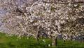 桜並木_八重桜「一葉」の桜堤 長野県小布施町 63862228