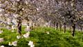 桜並木_八重桜「一葉」の桜堤 長野県小布施町 63862229