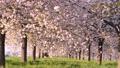 桜並木_八重桜「一葉」の桜堤 長野県小布施町 63862230