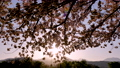 桜並木_八重桜「一葉」の桜堤 長野県小布施町 63862232