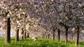 桜並木_八重桜「一葉」の桜堤 長野県小布施町 63862233