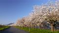 桜並木_八重桜「一葉」の桜堤 長野県小布施町 63862234