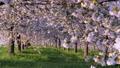 桜並木_八重桜「一葉」の桜堤 長野県小布施町 63862235