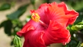 Hibiscus in Okinawa 63938124