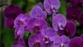 Purple buttercup orchid 63938126