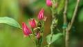 Pavonia flowers 63938137