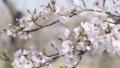 桜 ソメイヨシノ 64034177
