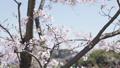 桜 ソメイヨシノ 64034180