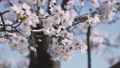 桜 ソメイヨシノ 64034183