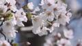 桜 ソメイヨシノ 64034185