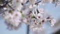 桜 ソメイヨシノ 64034186