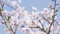 桜 ソメイヨシノ 64034189