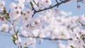 桜 ソメイヨシノ 64034190
