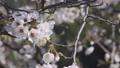 桜 ソメイヨシノ 64034191