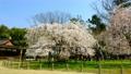Kamigamo Shrine's Gosho cherry tree 64077862